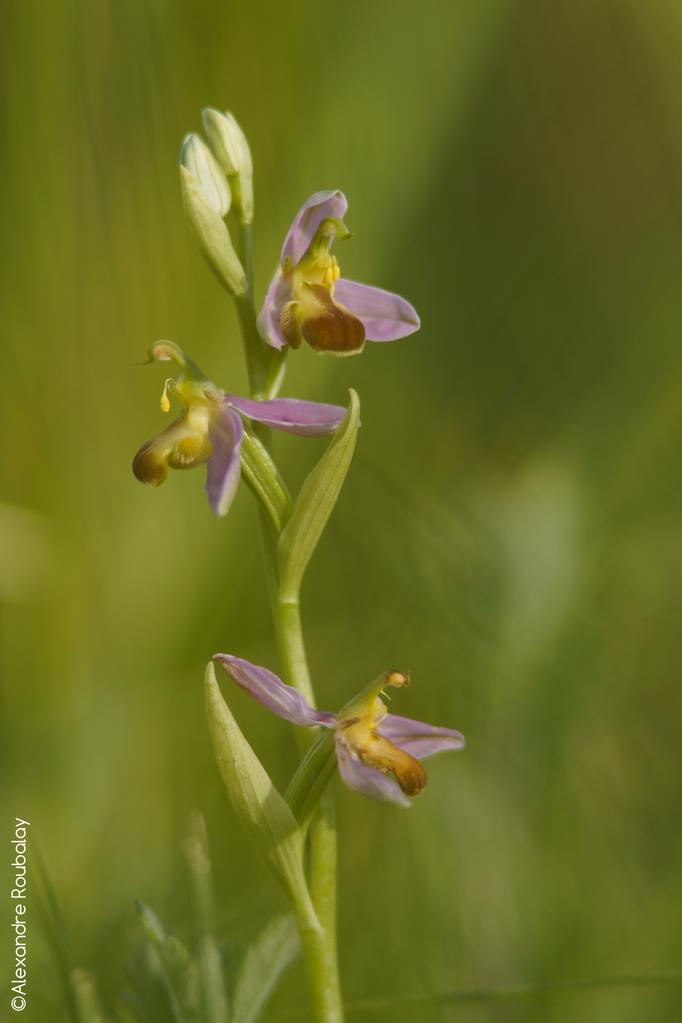 Ophrys - flore et photo nature en Sologne ©Alexandre Roubalay - Acadiau d'images