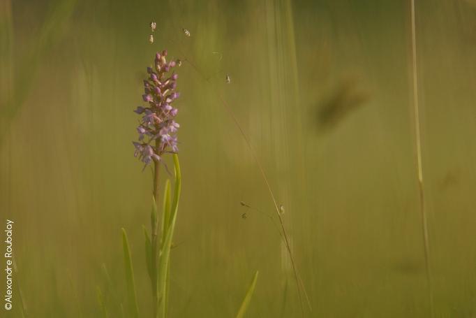 Orchidée - flore et photo nature en Sologne ©Alexandre Roubalay - Acadiau d'images