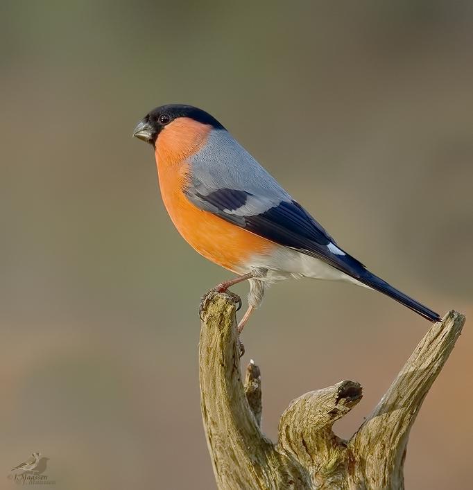 Goudvink ♂ - Bullfinch ♂.