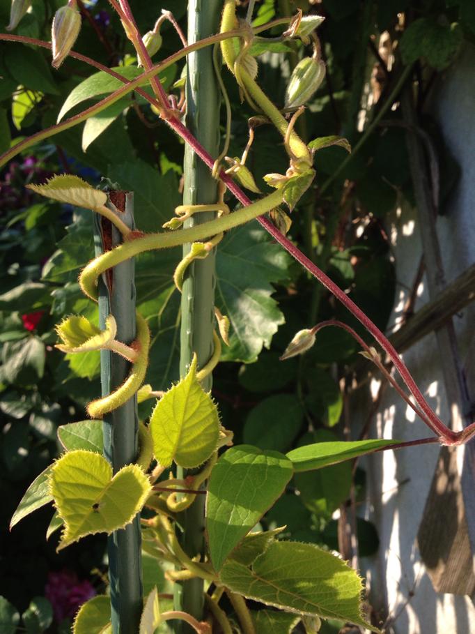 Kiwi - eindeutig eine Schlingpflanze ;)
