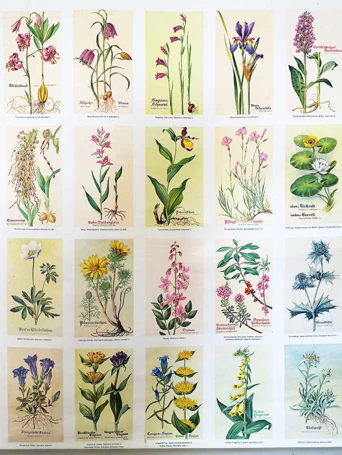 "Antike Schulwandkarte Rollkarte ""Geschützte Pflanzen"""
