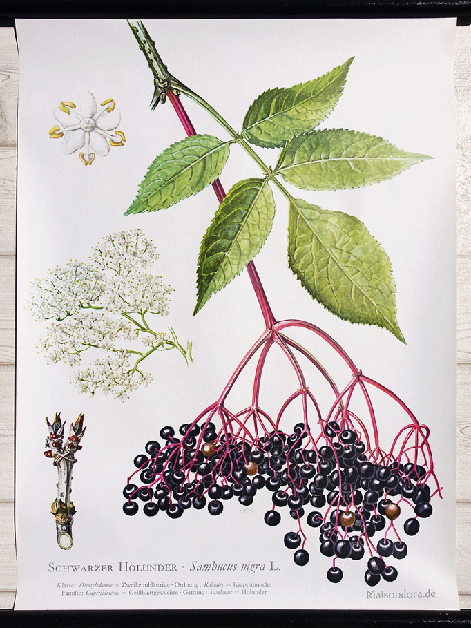 "Vintage Schulwandkarte Botanik ""Holunder"""