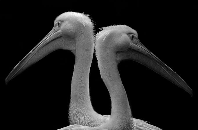 Pelikane im Tierpark Gotha