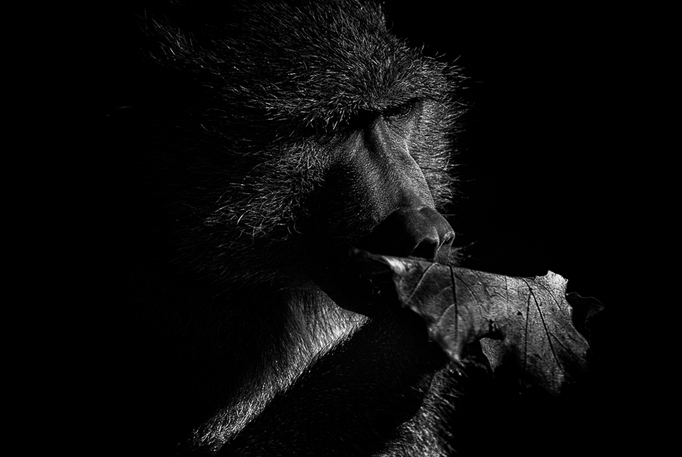 Pavian im Tierpark Gotha - Lowkey