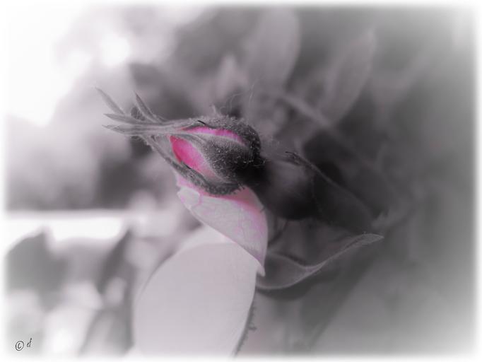 Die Knospe der Wilden Rose