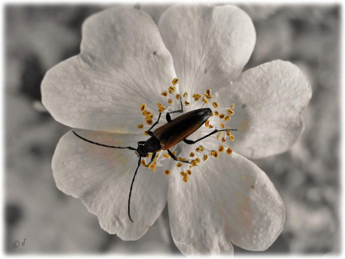 Die Wilde Rose & der Schmalbock