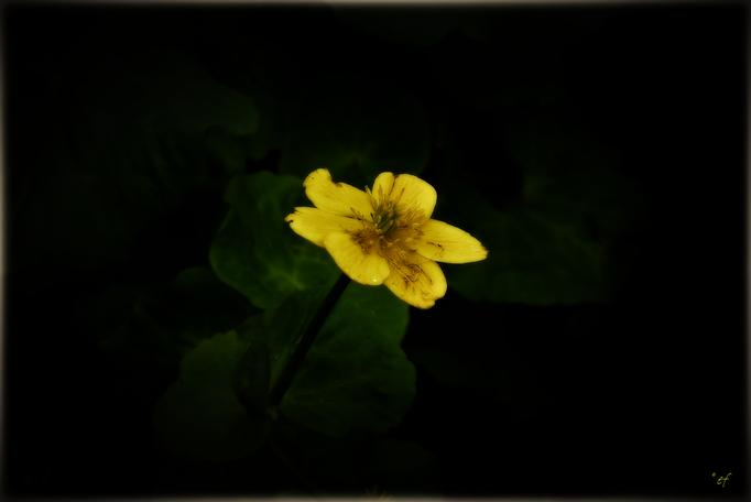 Die Dotterblume