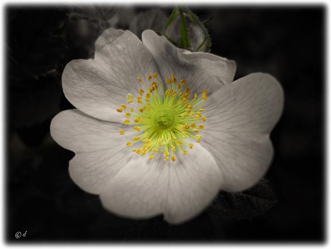 Narbe, Griffel, Fruchtknoten & Staubblätter einer Wilden Rose hervorgehoben