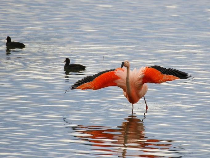 Flamingo und Bläßrallen