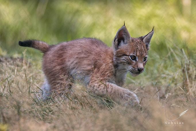 Luchswelpe - Lynx lynx