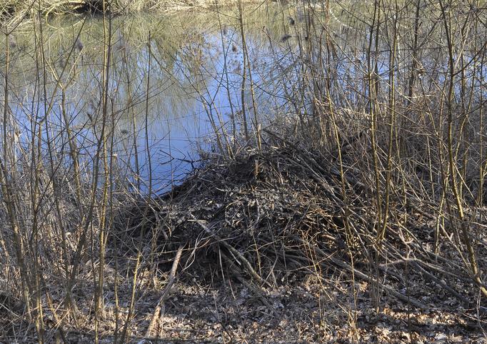 Hier wohnt die Biberfamilie (Die Lage am Ufersaum ist typisch für die Biberburg (Foto: Annelore Schneider)