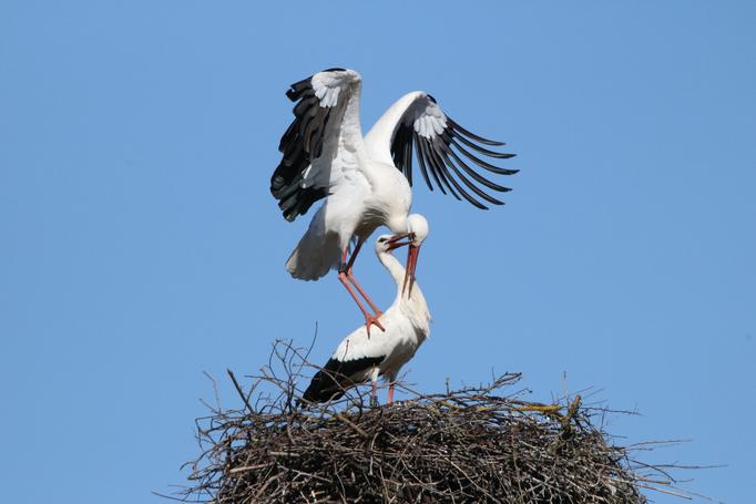 Storchenpaar (Foto: Edmund Abel)