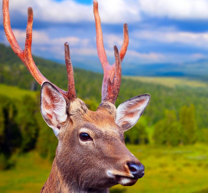Hirsch vor Wald