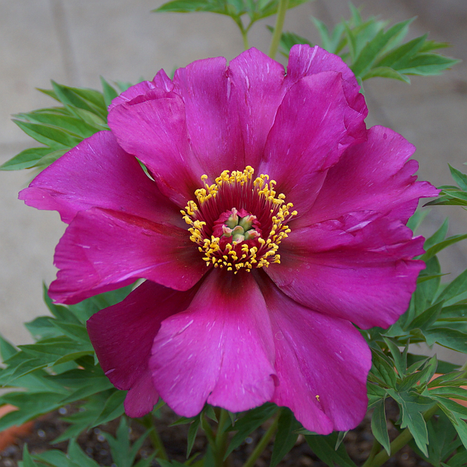 Paeonia Hybride 'Morning Lilac'