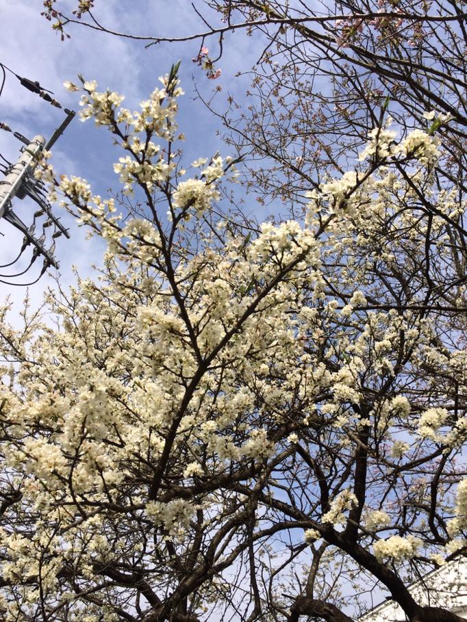 小さな花の桜