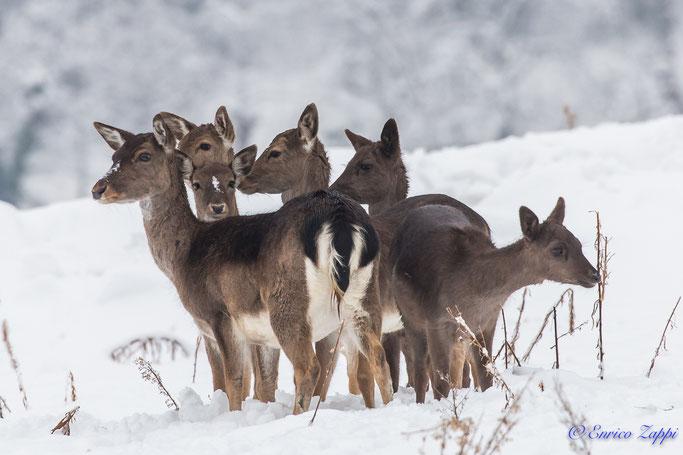 Gruppetto di femmine di daino sulla neve.