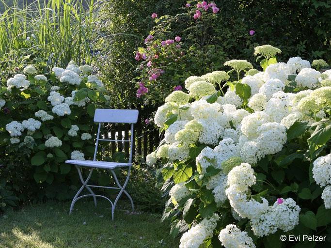 Schneeball-Hortensie 'Annabelle' im Garten der Fotografin Evi Pelzer