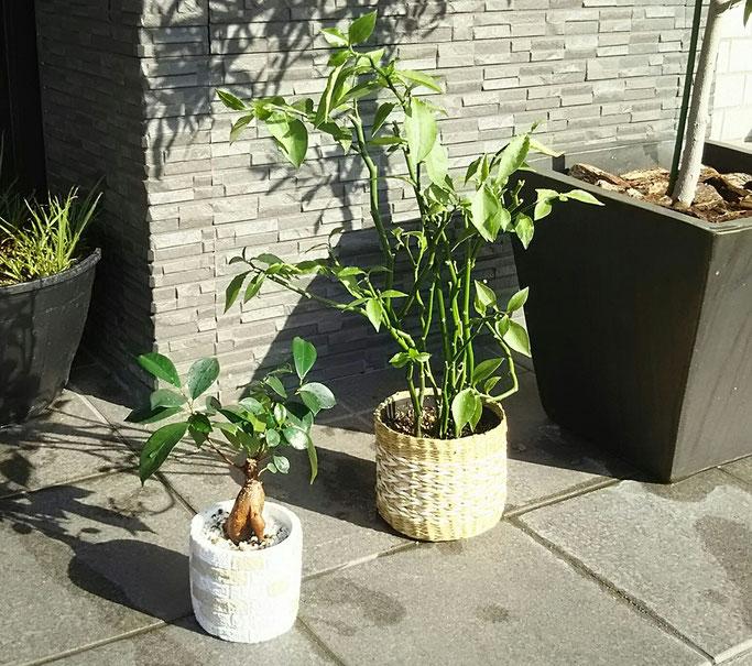 大分市 みつか漢方養生堂 観葉植物の日光浴