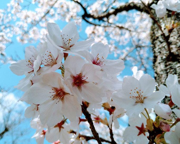 大分市 みつか漢方養生堂 桜満開