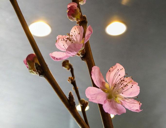 大分市 みつか漢方養生堂 桃の花で春モード
