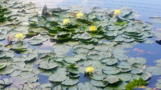 大分市 みつか漢方養生堂 漢方相談 睡蓮の花