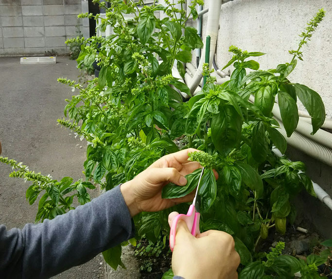 大分市 みつか漢方養生堂 バジルの収穫