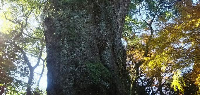 大分市 みつか漢方養生堂 樹齢3000年のクスの木
