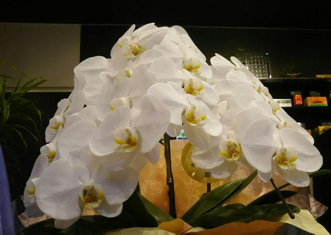 大分市 みつか漢方養生堂 白い胡蝶蘭