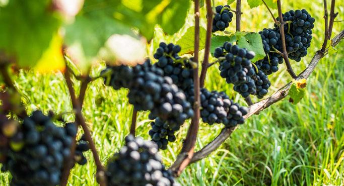 hurra-Weinberg-Pinot-Noir-Trauben