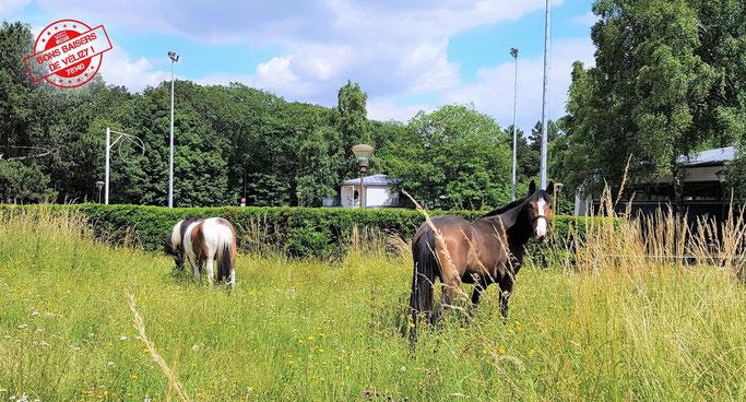 Icamani et Castlewellan du Poney-club de Vélizy-Villacoublay dans un enclos du quartier Le Village.