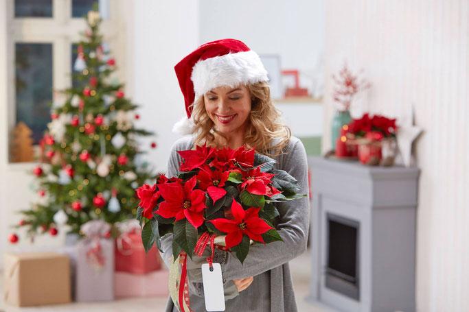 En France, le Poinsettia, s'offre de plus en plus à Noël .