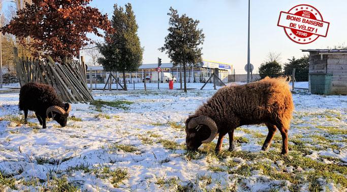 Moutons d'Ouessant sur la parcelle d'éco-pâturage de Vélizy-Villacoublay.