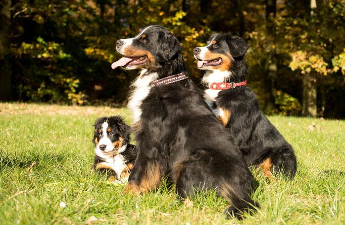 Berner Sennenhunde vom Klatschmohn