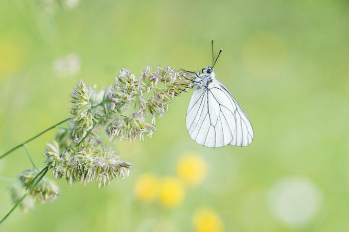 Heideblauwtje - Drenthe