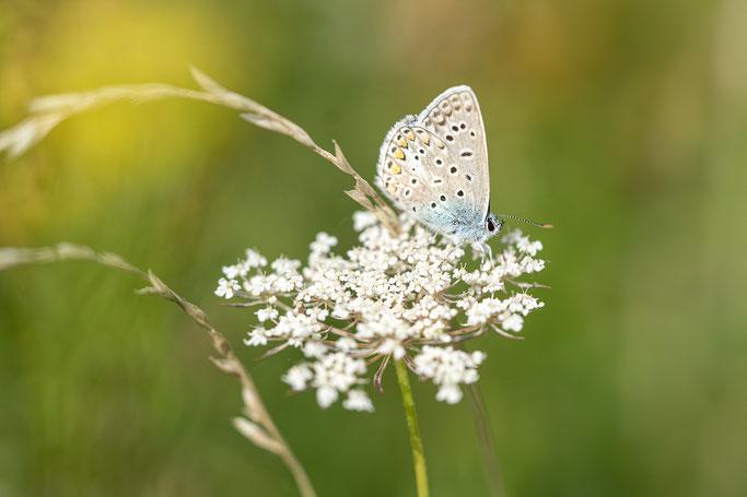 Icarusblauwtje, Houten