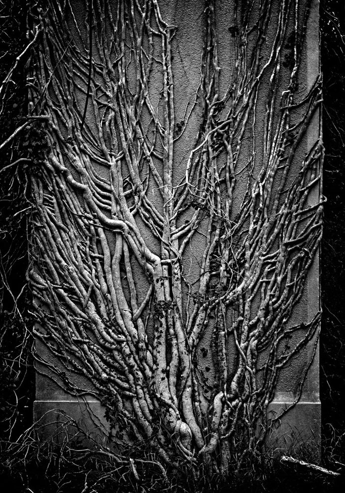 Bien que presque mort  Courent encore les branches  Du vieux plant de lierre