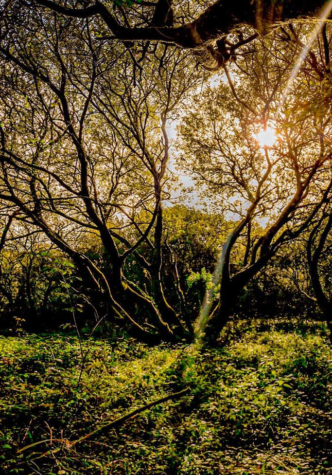 Entre les farouches branches  Ma pensée s'éclaire  De l'or pousse là-haut