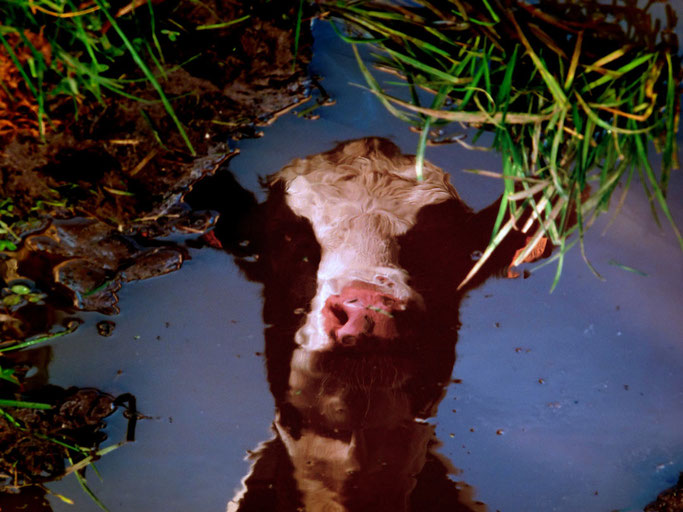 Le reflet vache