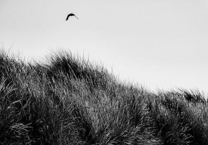 Voltige du corbeau  Balayé par les rafales  Par-delà les dunes