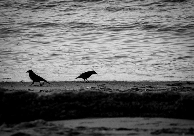 Deux oiseaux noirâtres  Scrutent la blancheur de la plage  Tels des naufrageurs