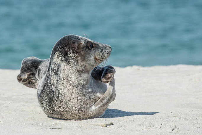 Nordsee Strand Robben