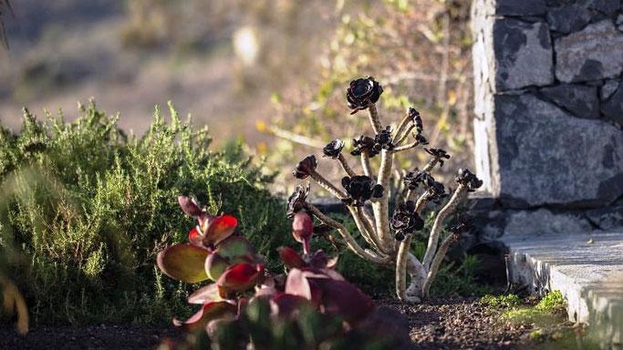 Kanaren El Hierro Pflanzen