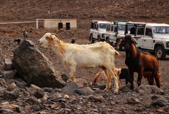 Kanaren Fuerteventura Ziegen