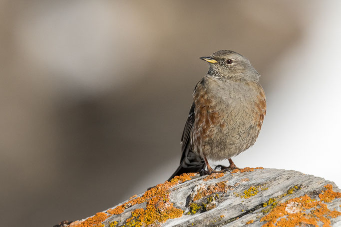 Alpenbraunelle (Prunella collaris) / Alpine accentor