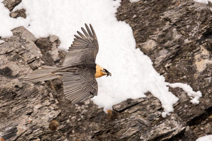 Bartgeier (Gypaetus barbatus) / Bearded vulture