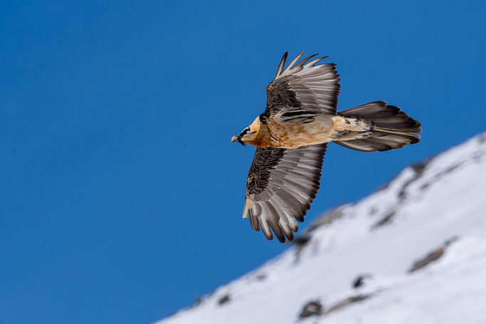 Bartgeier (Gypaetus barbatus) / Bearded vulture