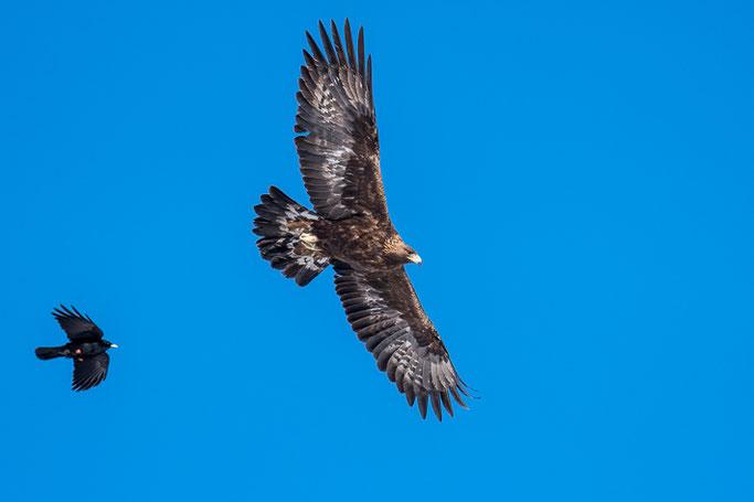 Steinadler (Aquila chrysaetos) / Golden eagle -> verfolgt von einer Alpendohle (Pyrrhocorax graculus) / Alpine chough