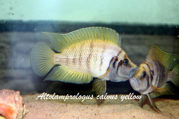 Altolamprologus, Altolamprologus calvus, Altolamprologus calvus yellow
