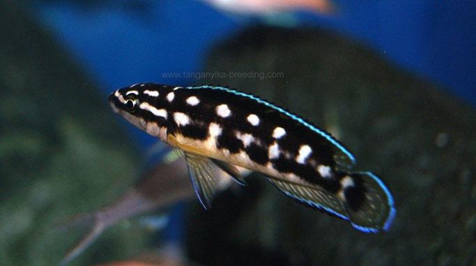 юлидохромис, юлидохромис транскриптус, юлидохромис транскриптус бемба, julidochromis, julidochromis transcriptus, julidochromis transcriptus bemba,