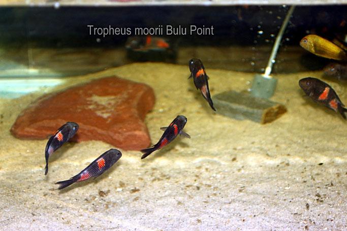 Tropheus, Tropheus moorii, Tropheus moorii Bulu Point